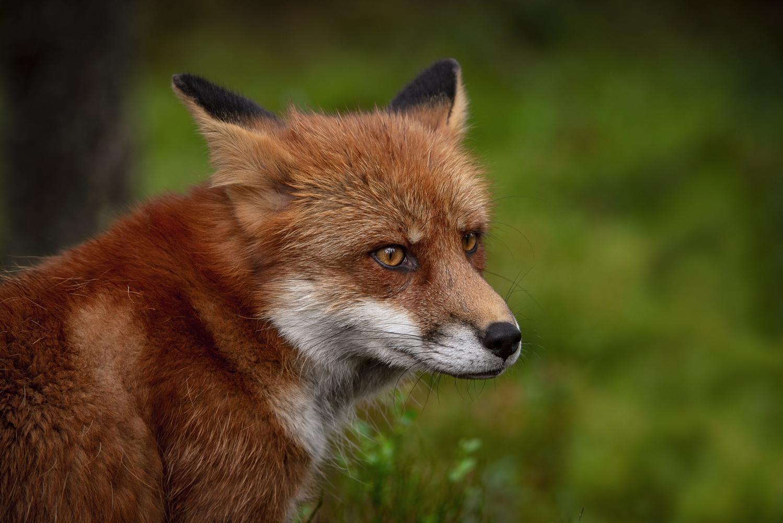 Red Fox by Annelin Hoff