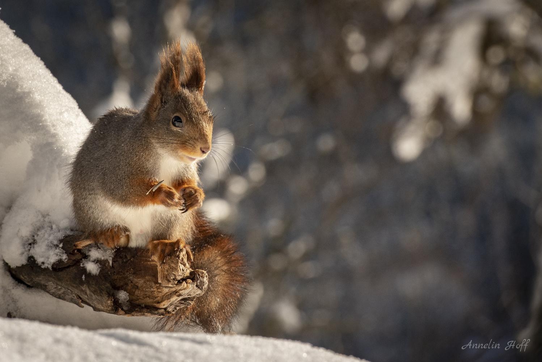 Squrrel by Annelin Hoff