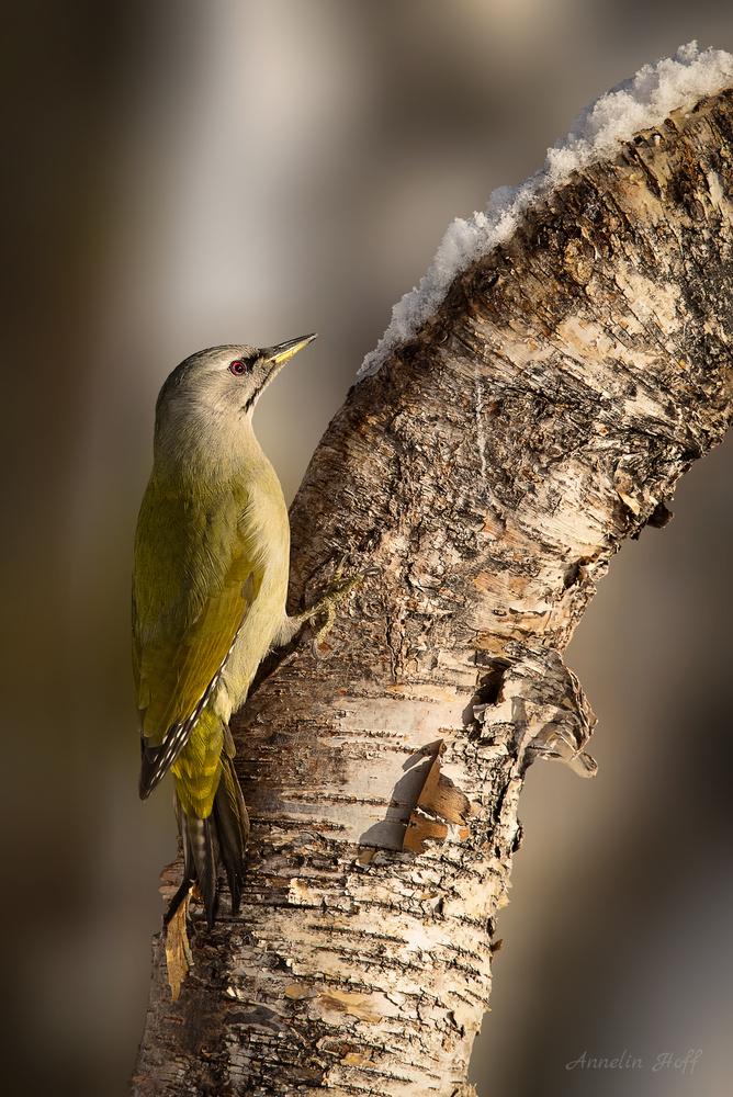 European Green Woodpecker by Annelin Hoff