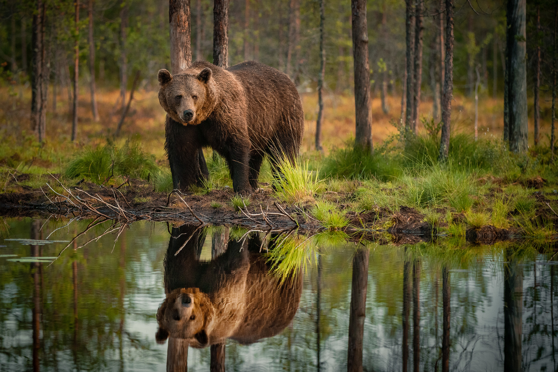 Wild bear by Annelin Hoff