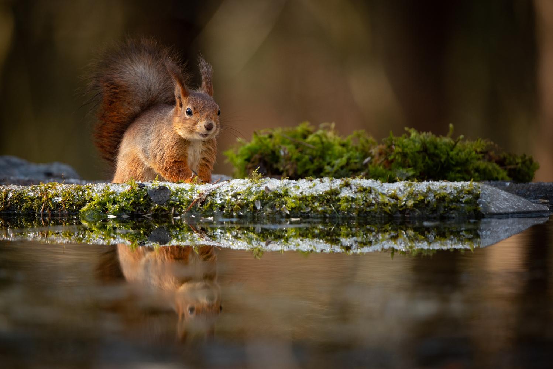 Red squirrel by Annelin Hoff