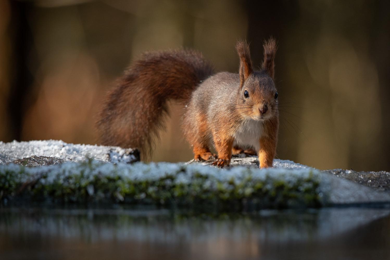 Little squirrel by Annelin Hoff