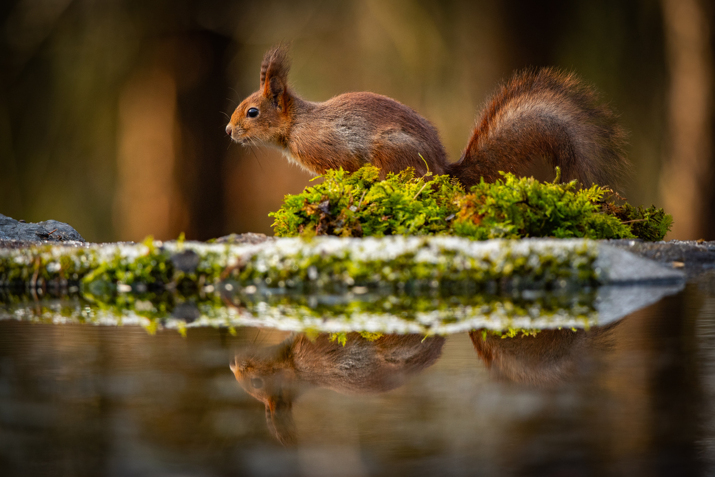 Squirrel by Annelin Hoff