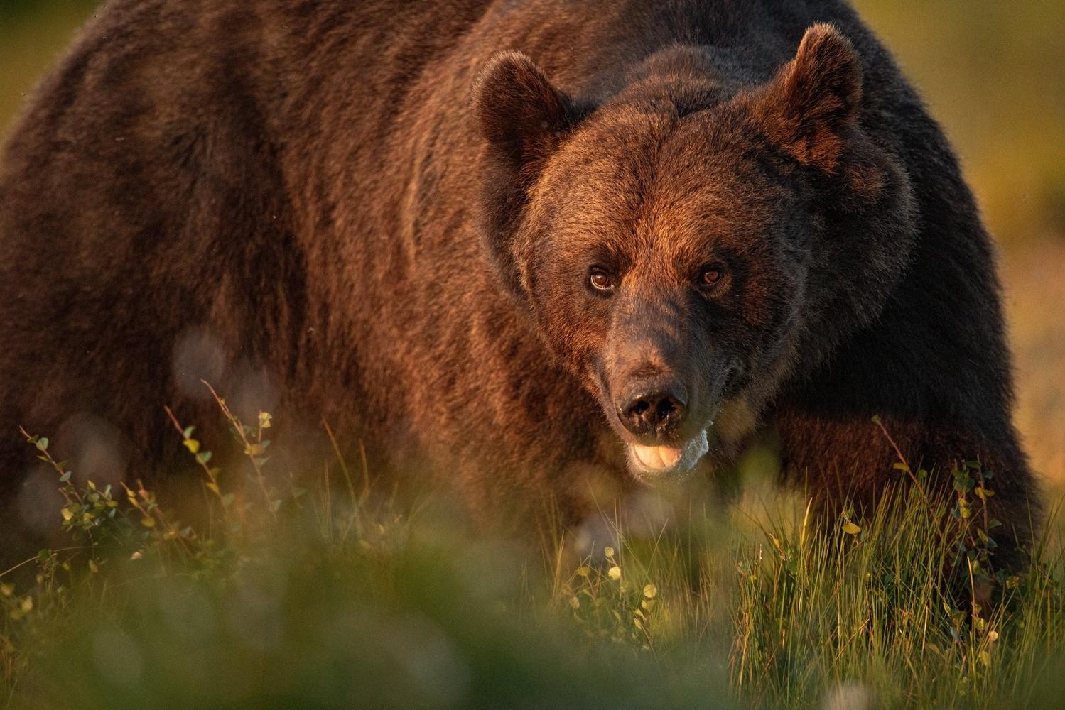 Bear portrait by Annelin Hoff