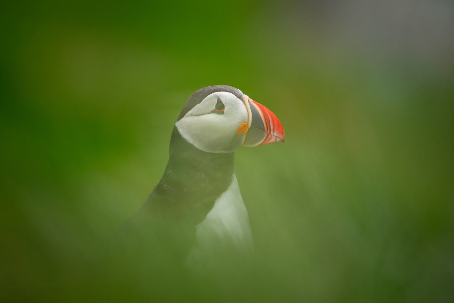 Puffin hiding in the grass. by Annelin Hoff