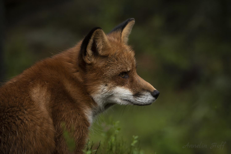 Portrait of a Fox by Annelin Hoff