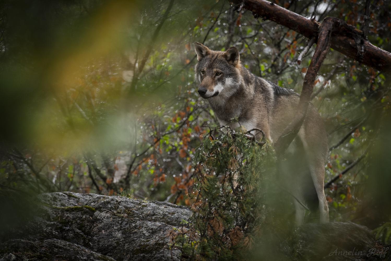 Wolf by Annelin Hoff