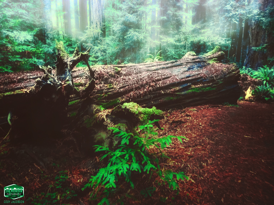 Fallen Redwood Giant in the Mist by Cody Jacobson