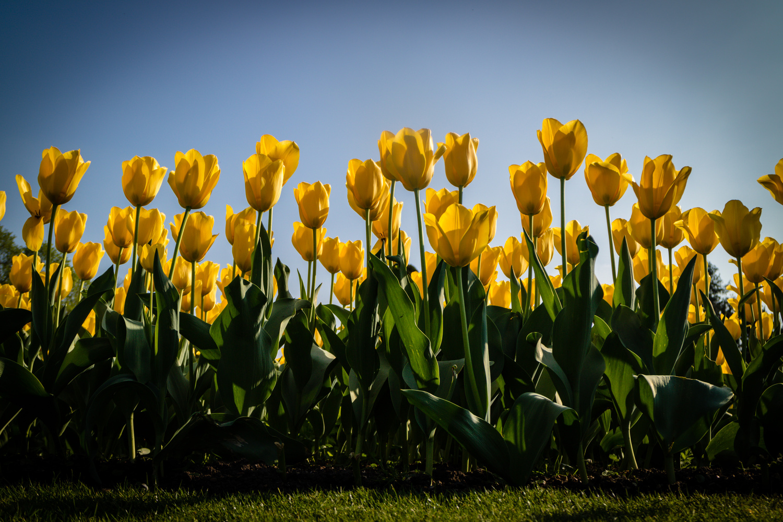 Spring Tulips at Hampton Court Palace by Chris Wade