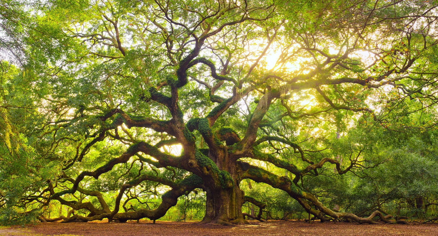 Angel Oak - Oldest Living Tree East Of The Mississippi River by Patrick Hall