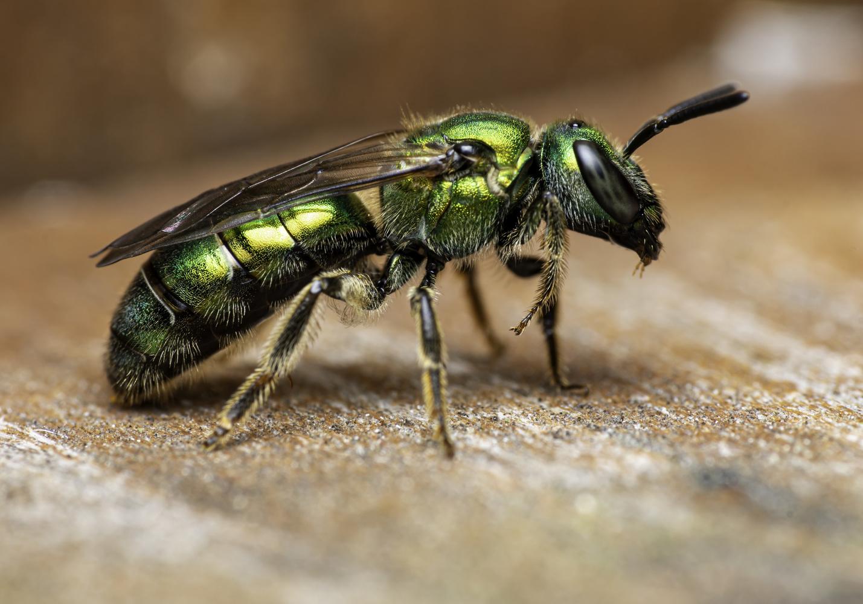Sweat Bee by Aaron Duke