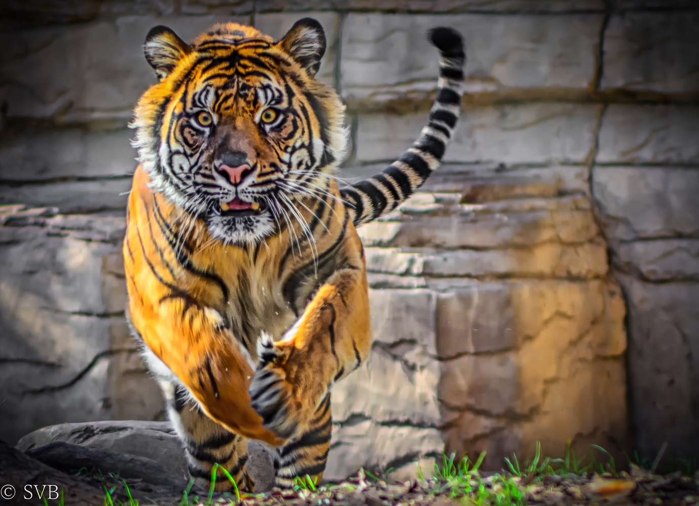 Bengal Tiger by Sanjay Bhat