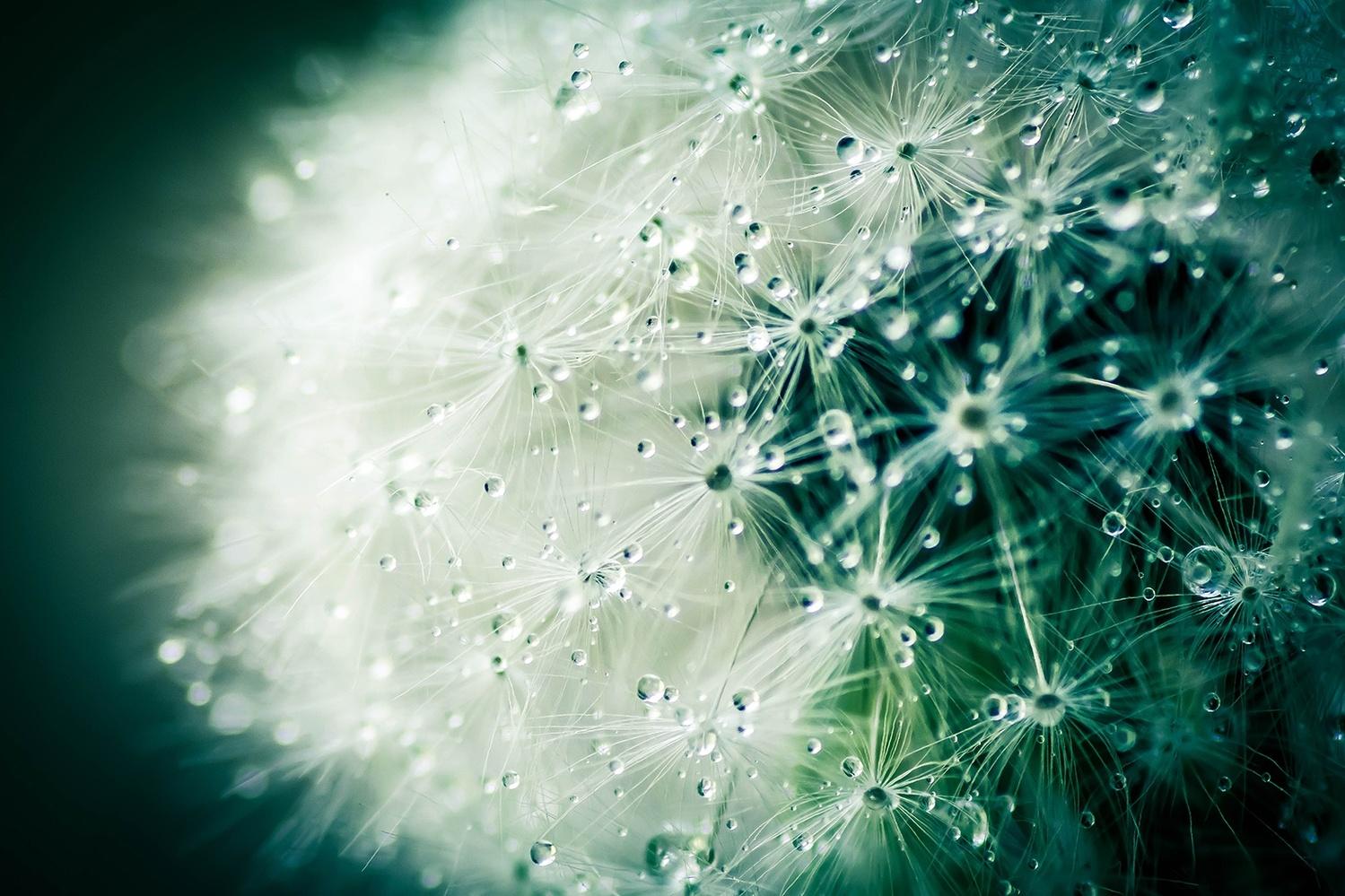 Dandelion Dew by Novak Miler
