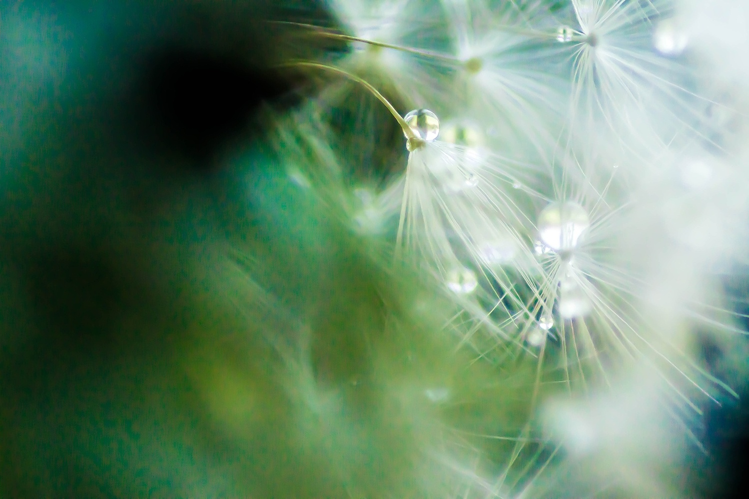 Dandelion Mist by Novak Miler