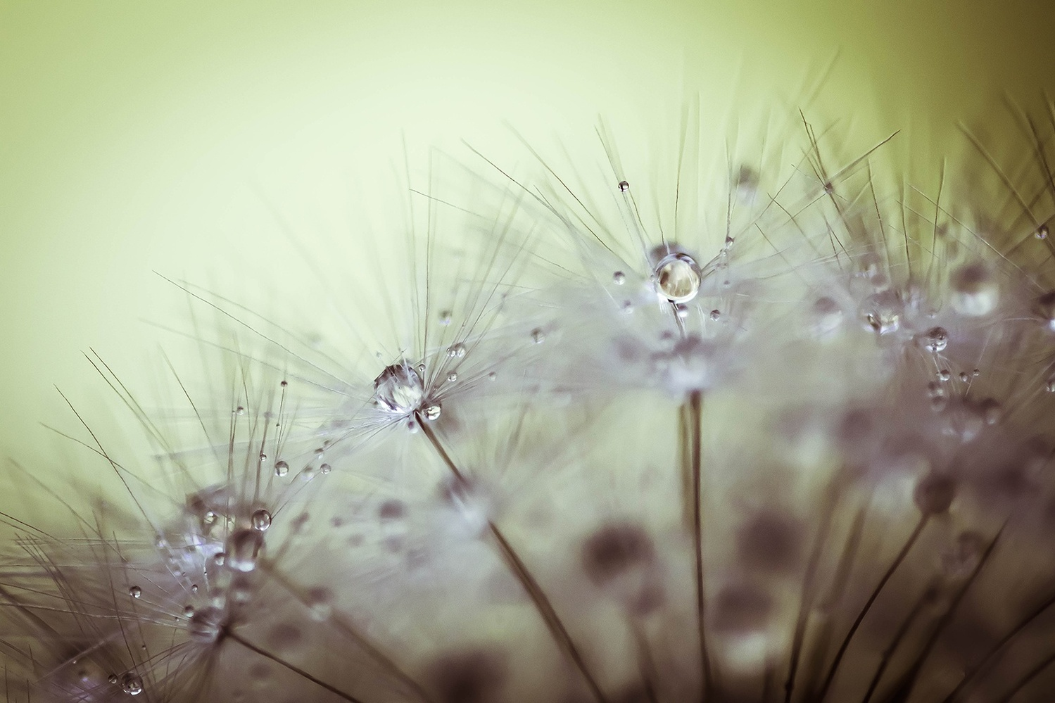 Dandelion Spread by Novak Miler