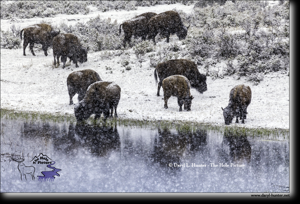Winter bison reflection by Daryl Hunter