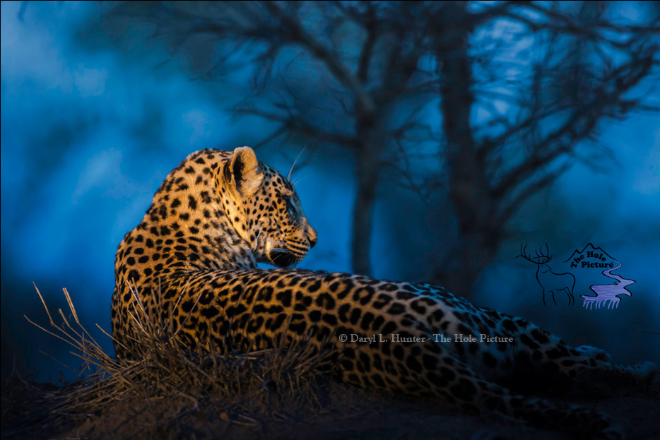 Blue Hour Leopard by Daryl Hunter