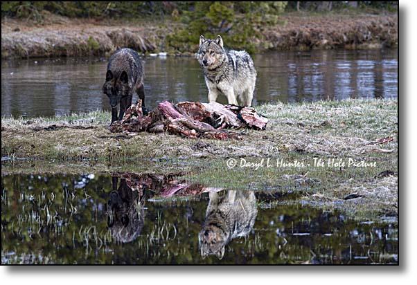 Wolf reflection by Daryl Hunter
