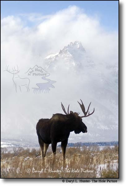 Solitary Moose by Daryl Hunter