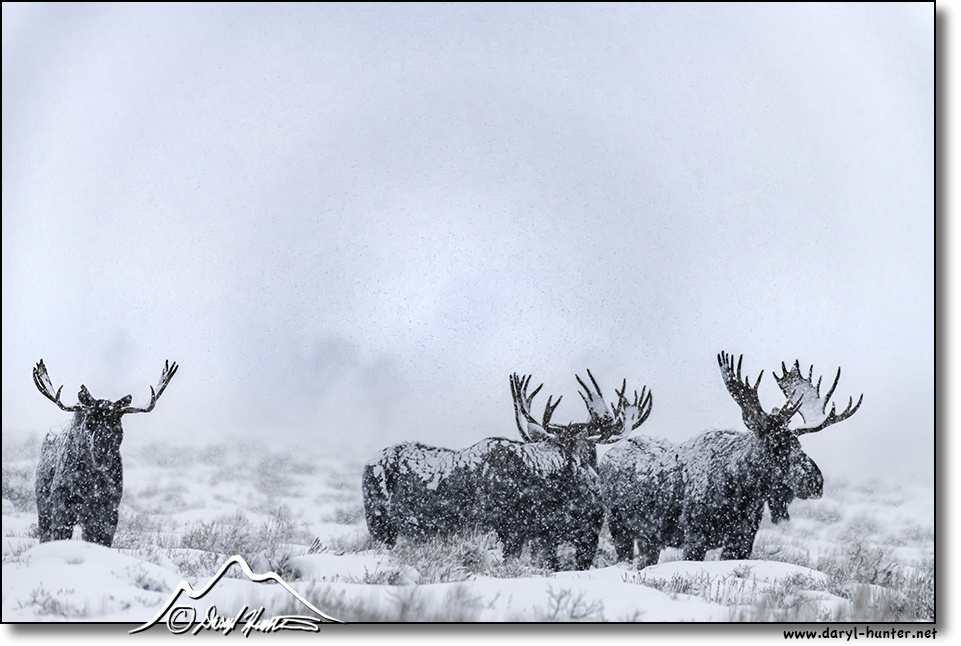 Sugar Coated Moose by Daryl Hunter