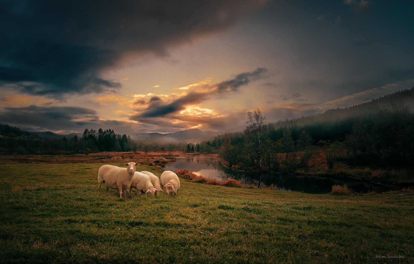 Sheep by Wim Lassche