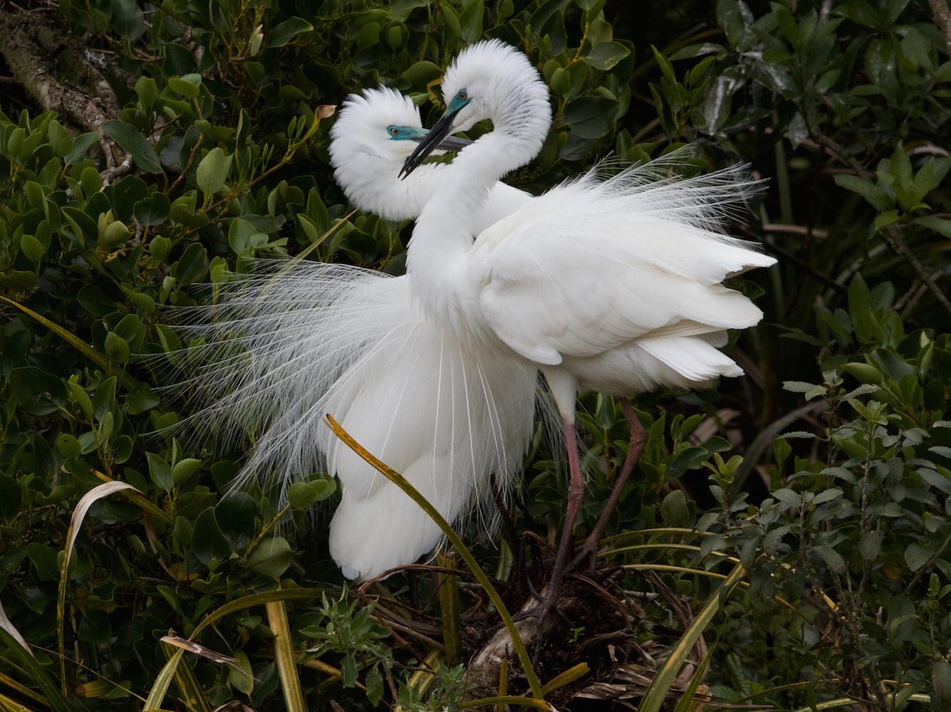 White Heron bonding behaviour by Murry Cave