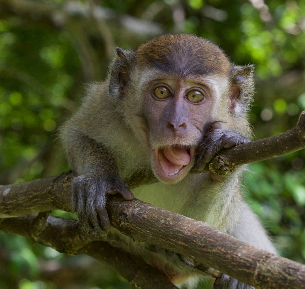 Juvenile Macaque Monkey by Murry Cave