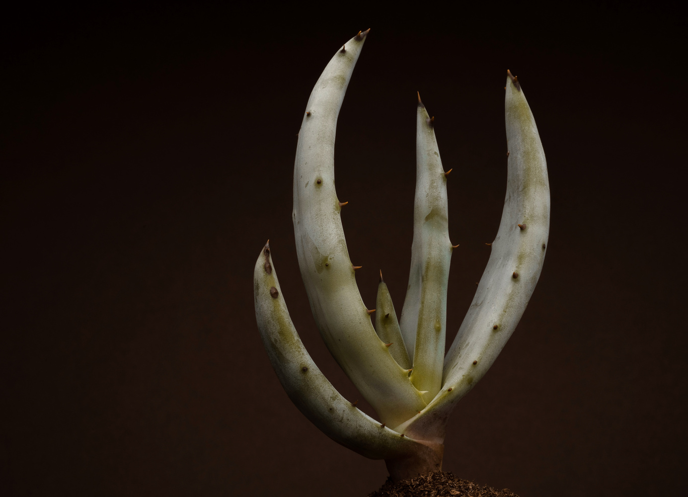 Aloe Matey by Timothy Hines