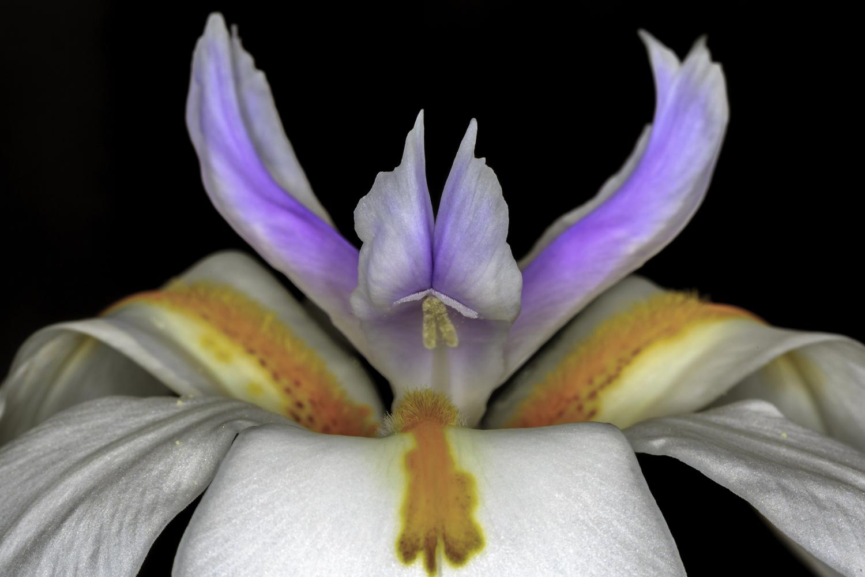Fairy Iris inteligence by Ramiel Rashidi