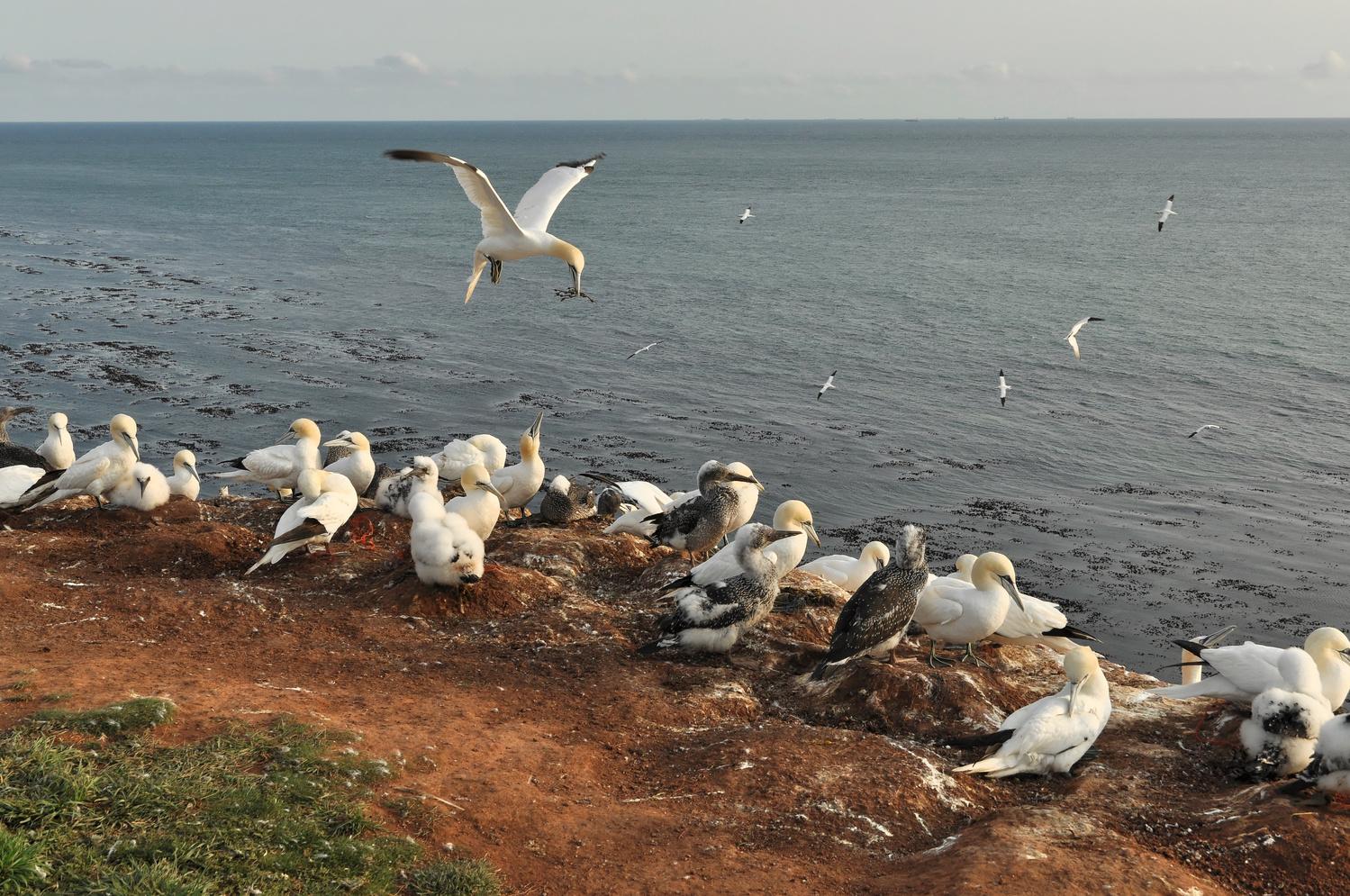northern gannet by Bernd Hauptvogel