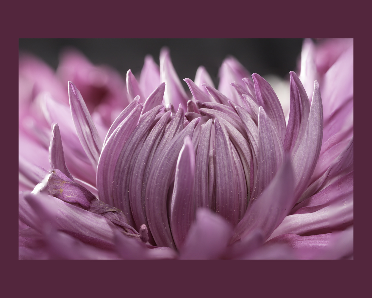 PINK! (Focus Stacked closeup) by Charles Haacker