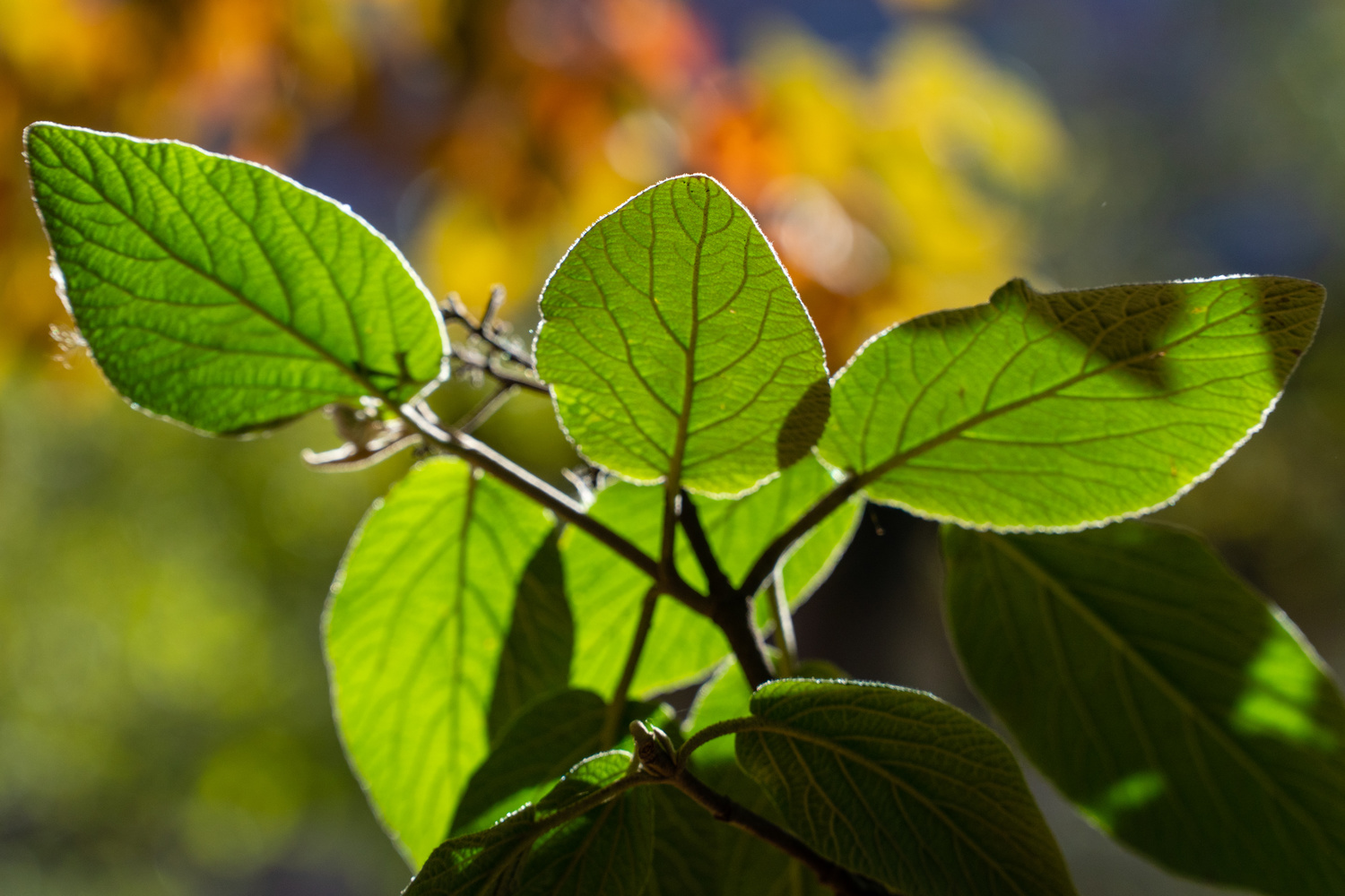 Fall Backlit Leaves by Charles Haacker