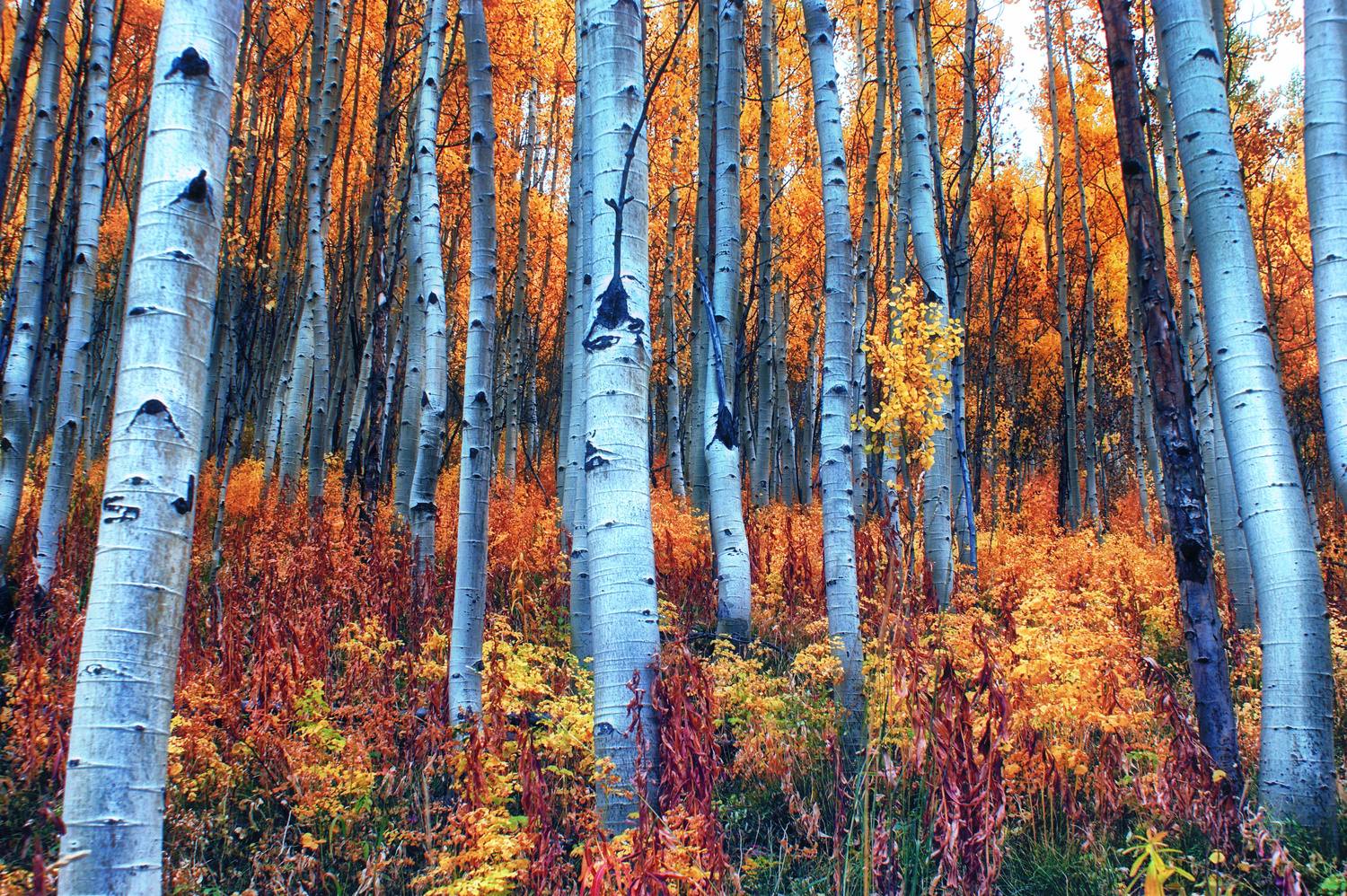 Colorful Aspens by Brian Kerls
