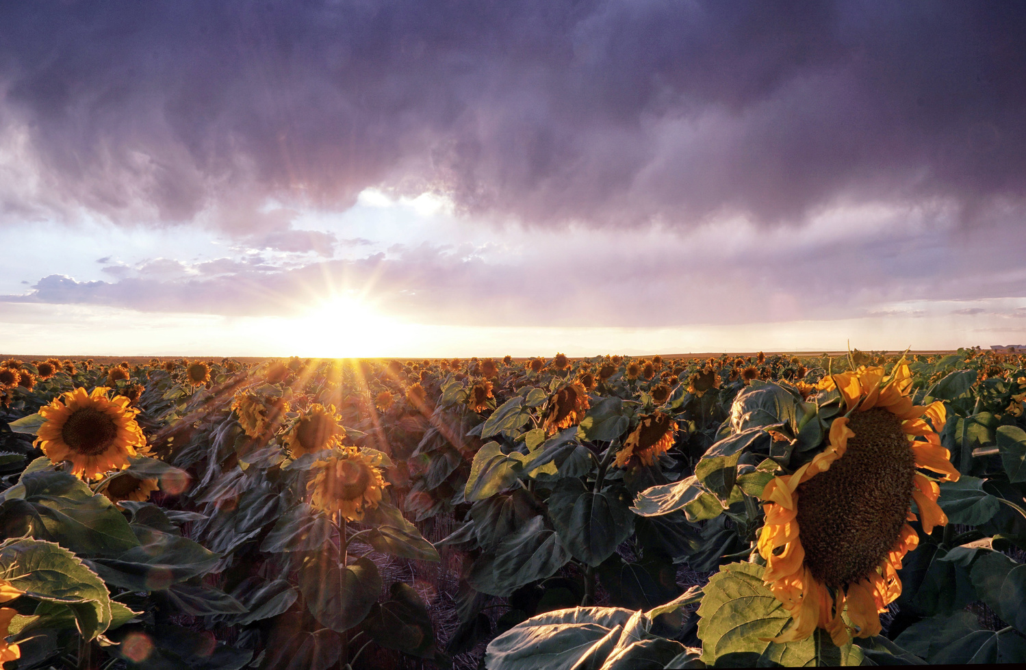 Sunflower Sunburst by Brian Kerls