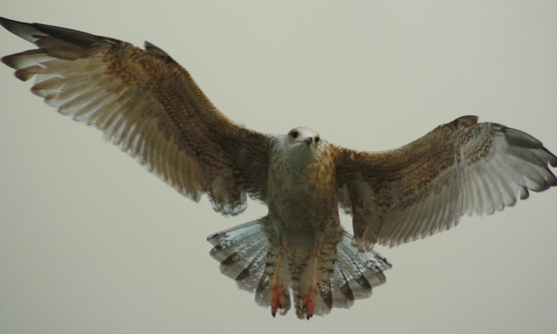 Swedish W.coast Eagle by Bird Man