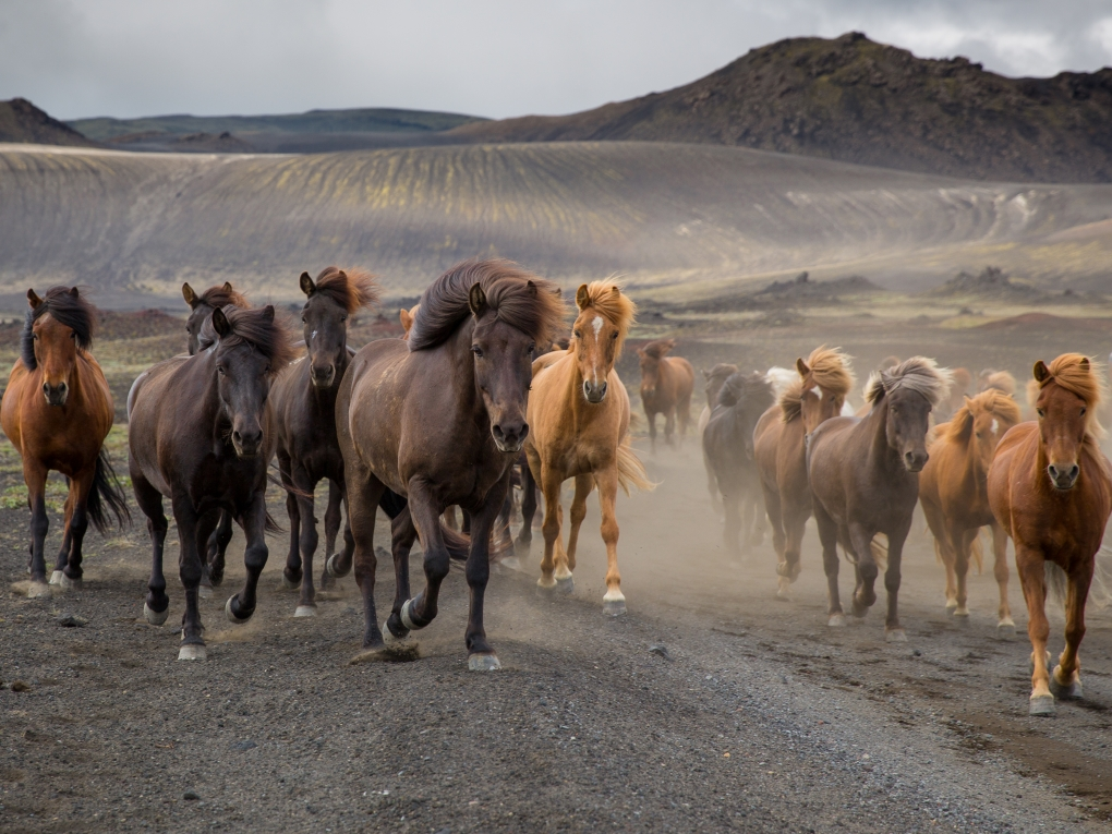 Stampede of Icelandic Horses by Charlotte Goss