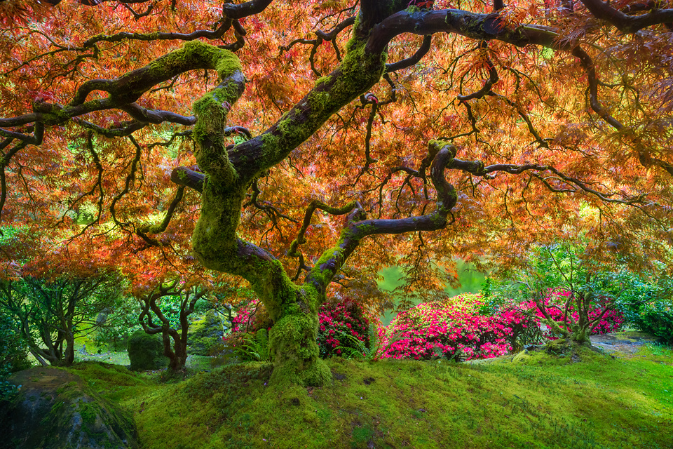 Japanese Maple by Celso Mollo