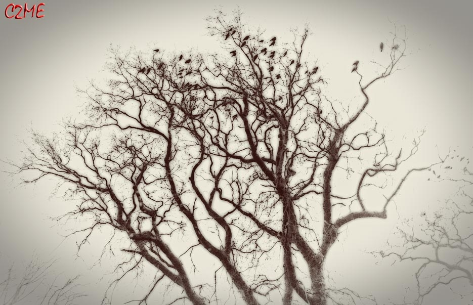 Crows in Winter, Ireland 2015 by Cathal Twomey