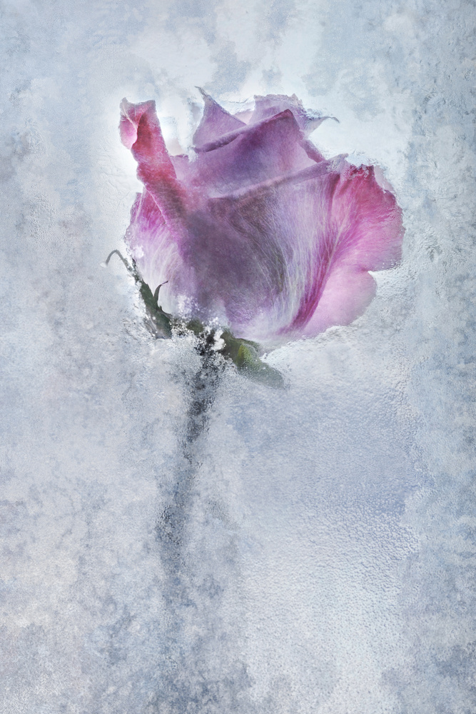 Frozen rose by Stephen Clough