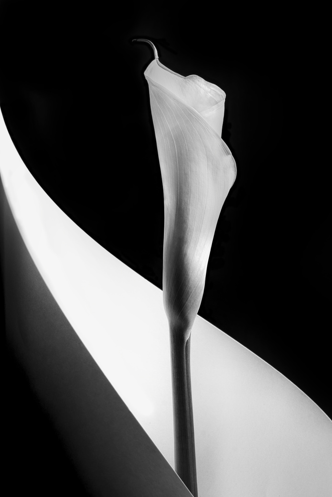 Calla lily by Stephen Clough
