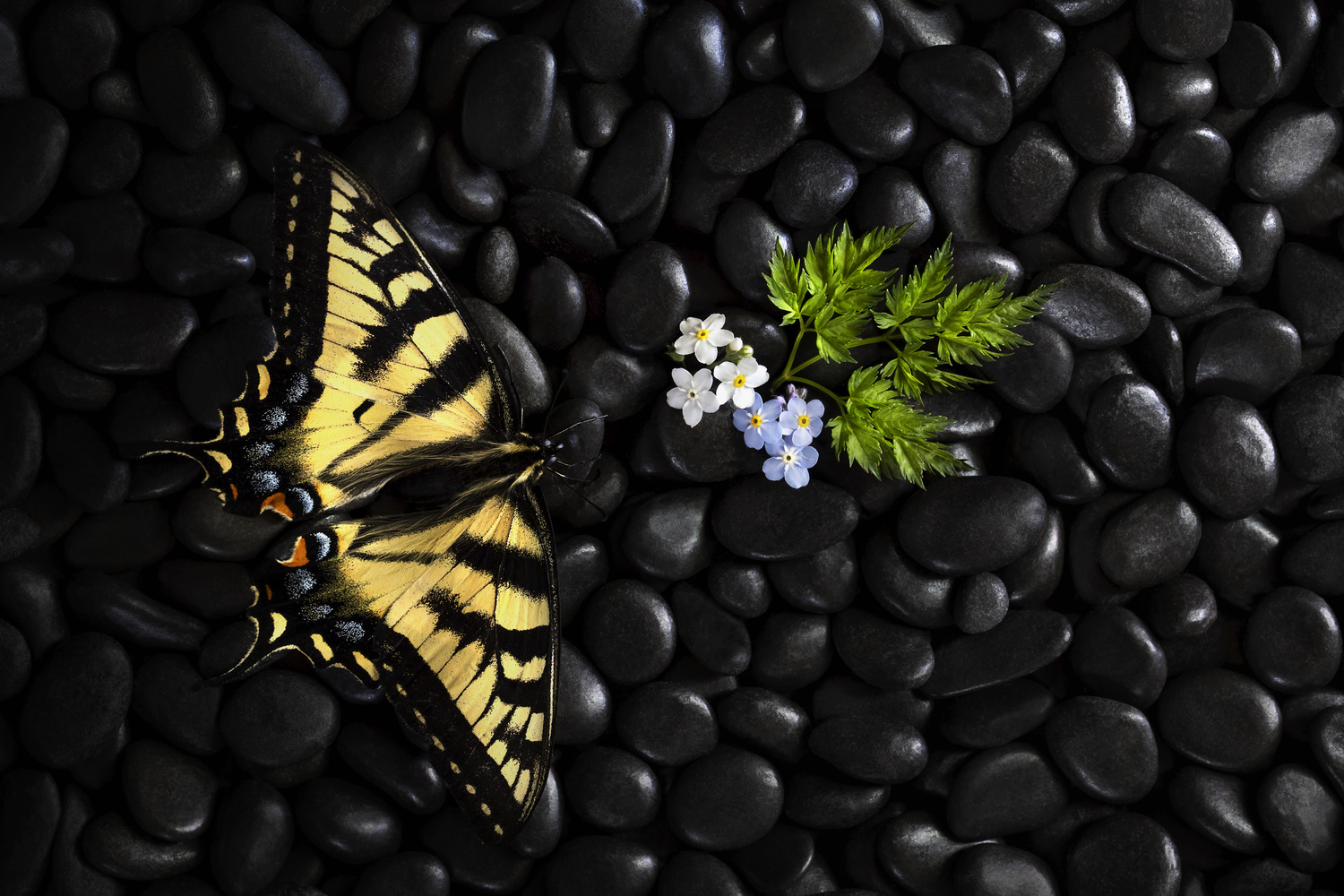 Eastern tiger swallowtail by Stephen Clough