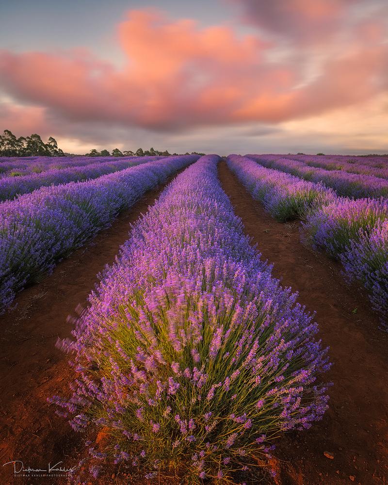 Lavender dreams by Dietmar Kahles