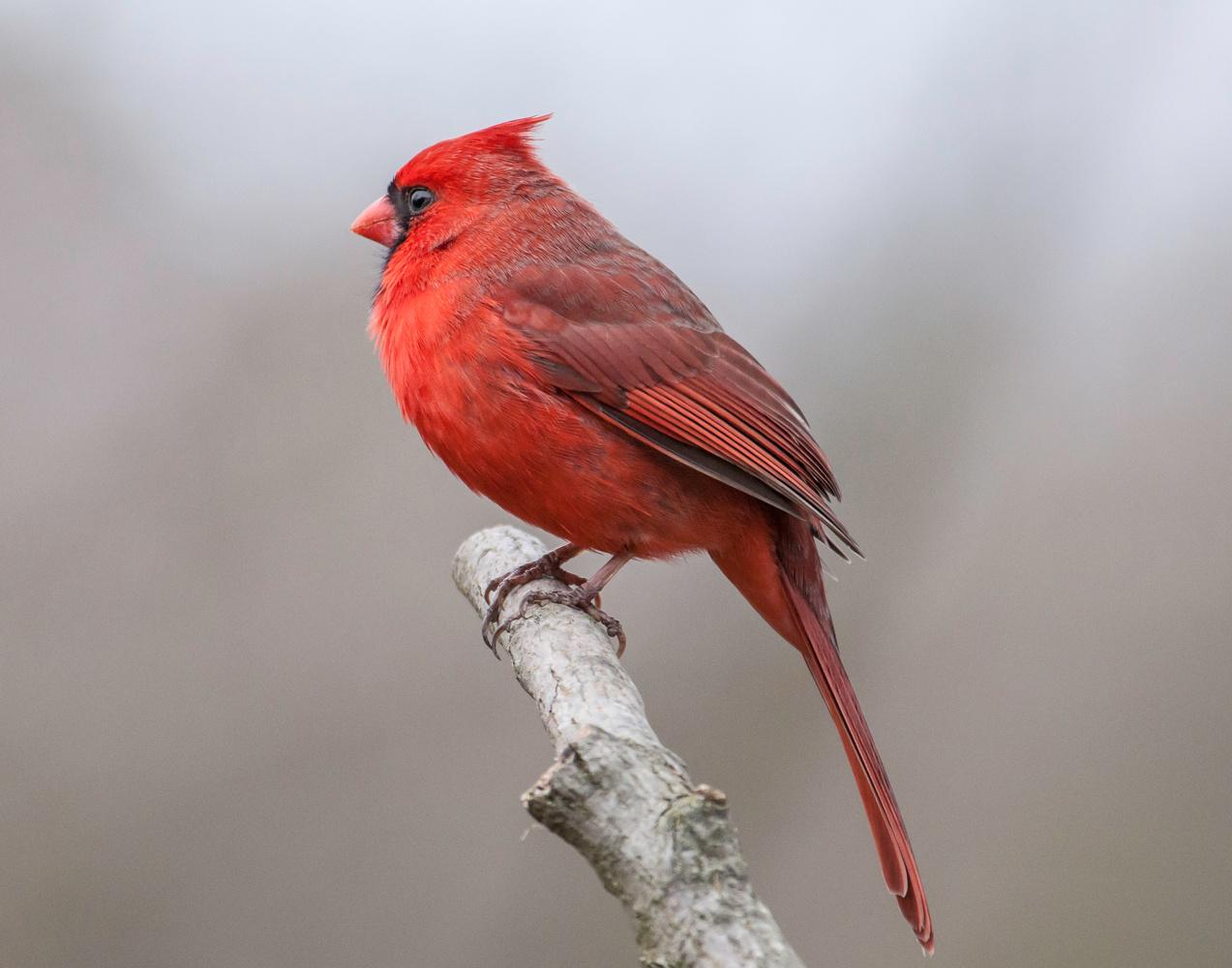 A Well-Fed Cardinal by Michael B. Schuelke