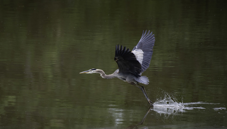 Fleeing Heron by Michael B. Schuelke