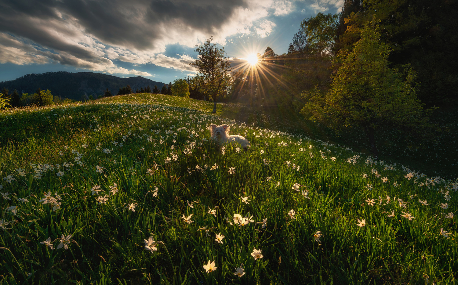 Among the daffodils by Ales Krivec