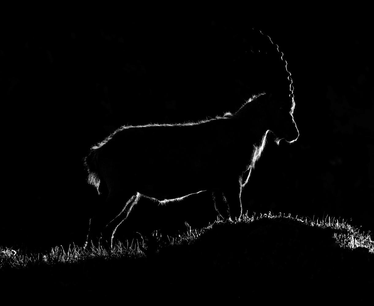 Alpine ibex by Ales Krivec