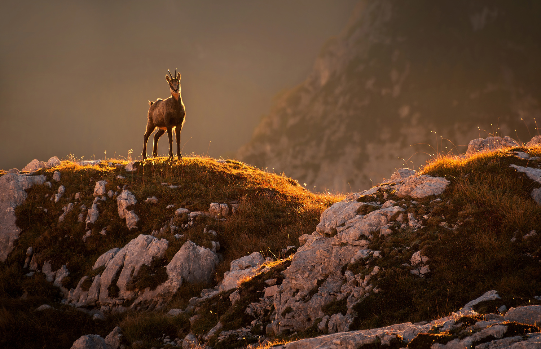 Mountain goat by Ales Krivec