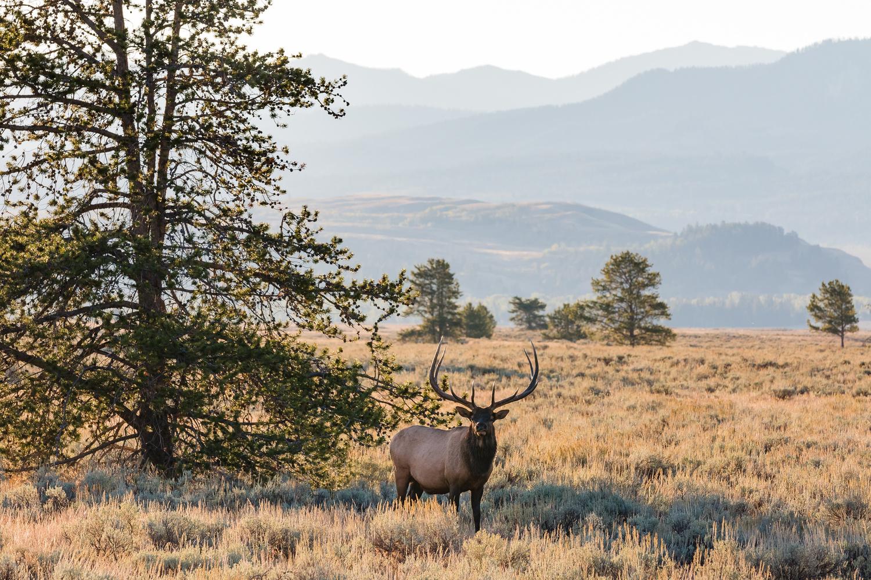 Teton Bull Elk by Colton Jacobs