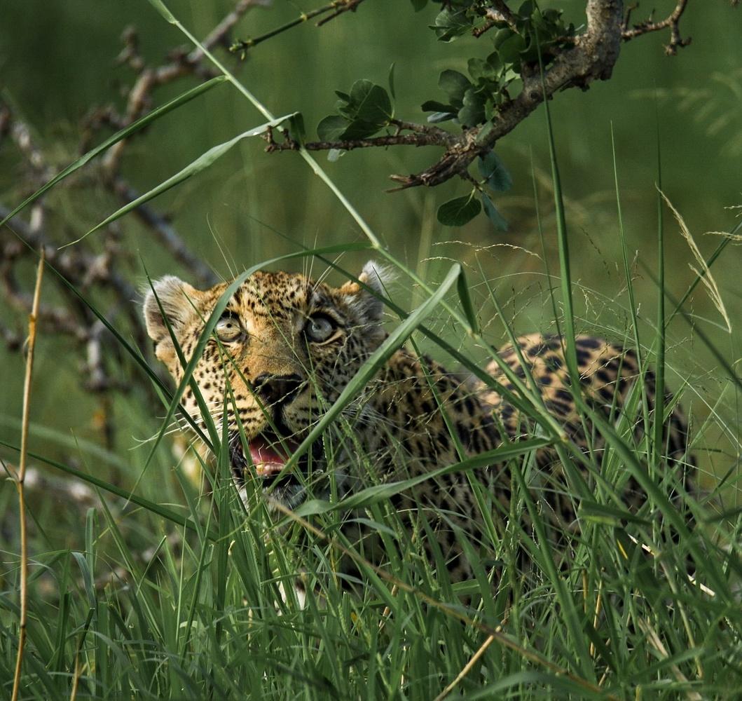Leopard - South Africa by Travis Ackerman