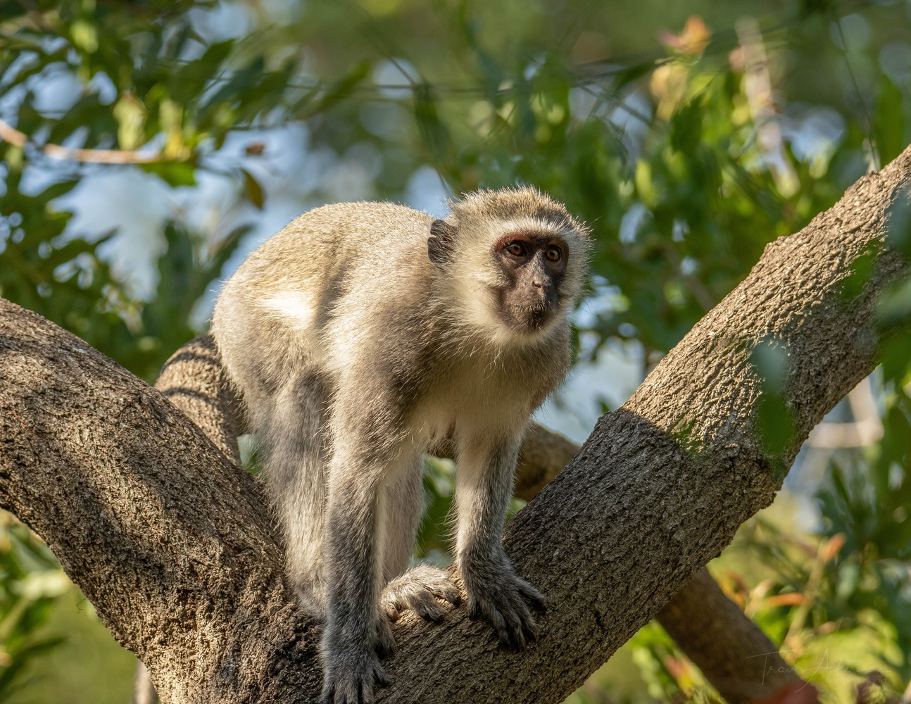 Vervet Monkey - South Africa by Travis Ackerman